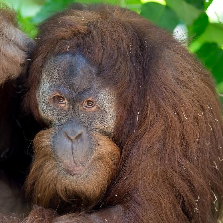 Orangutan at Woodland Park Zoo