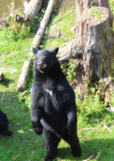 Bandit the rescued black bear in Sitka
