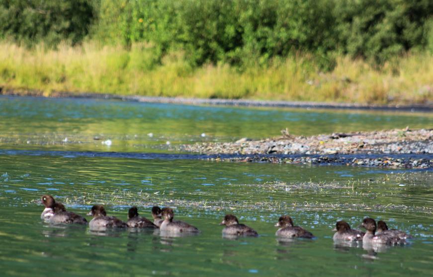 A family of Barrows Golden-eye ducks on Addison Lake