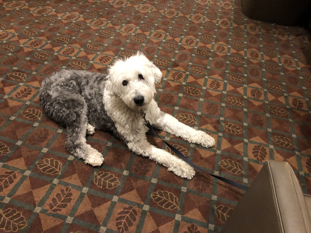 Doggo making himself at home in pet friendly Westin Riverfront in Avon Co