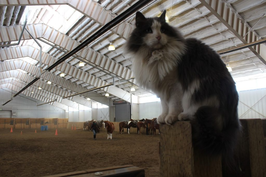 Blu is king or queen of the barn cats at Vista Verde Ranch