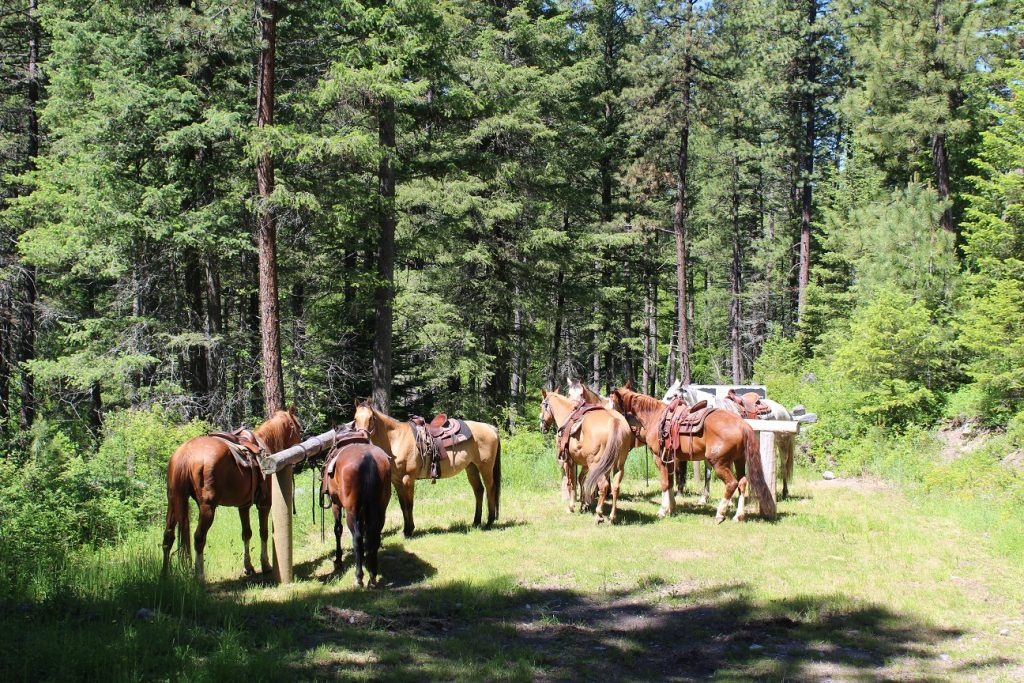 Some of the 100 or so horses at Flathead Lake Ranch resting on a trail ride