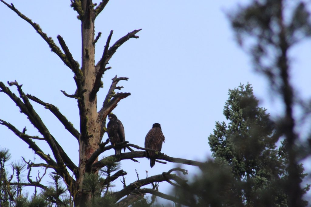 Yes, we found the bald eagle nest - two youngsters on alert