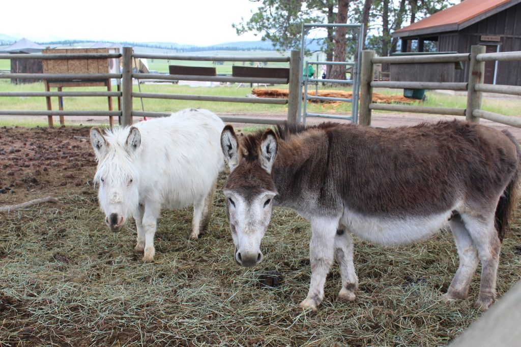 Miniature horses for the kids at Paws Up Resort
