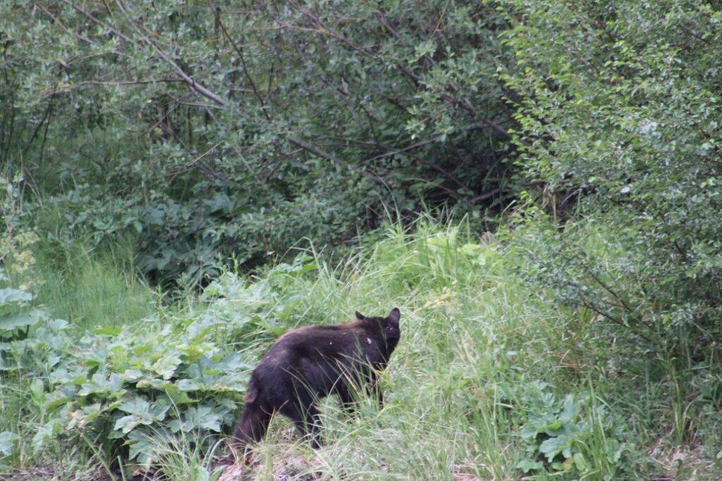 Bear sighting on ACES birding tour in Aspen