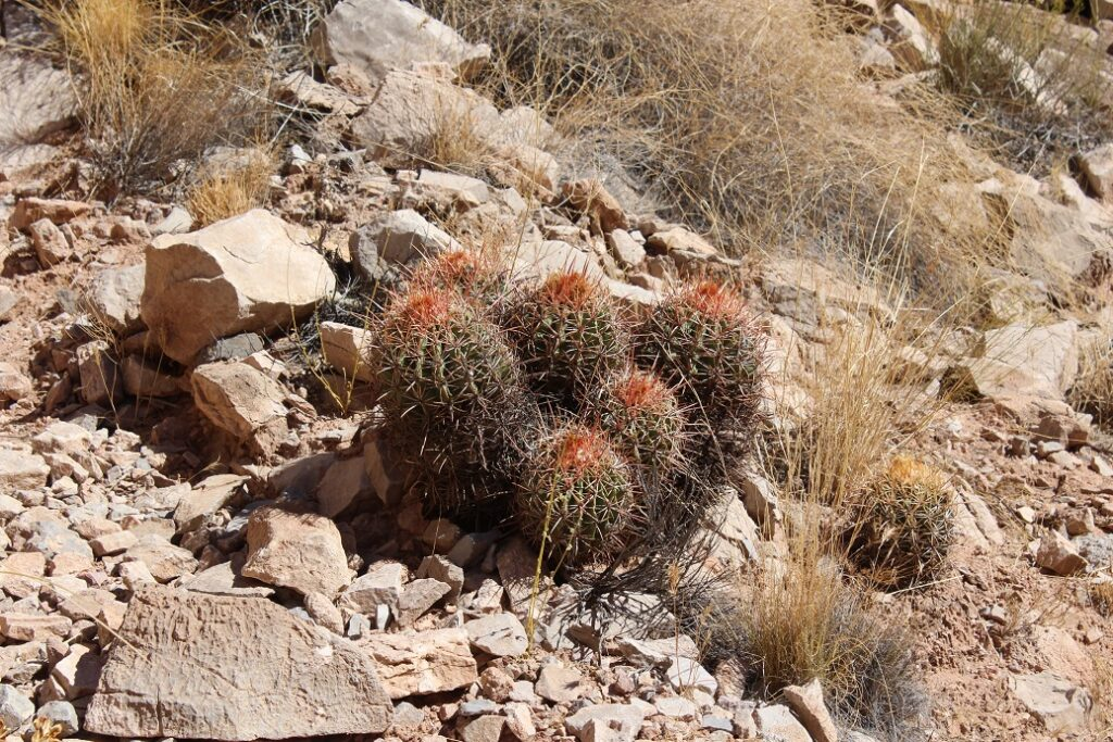 Barrel cacti are common throughout the Grand Canyon