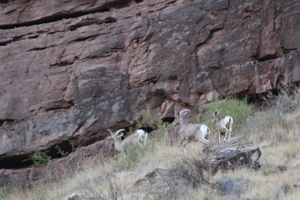 Family of Big Horn Sheep sighted at our campsite