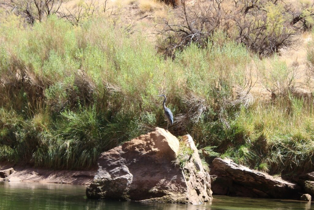 One of many Great Blue Herons we spotted in the Grand Canyon