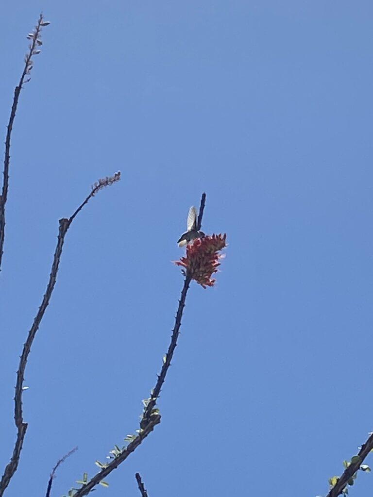 A humming bird feeding on cactus flower at White Stallion Ranch