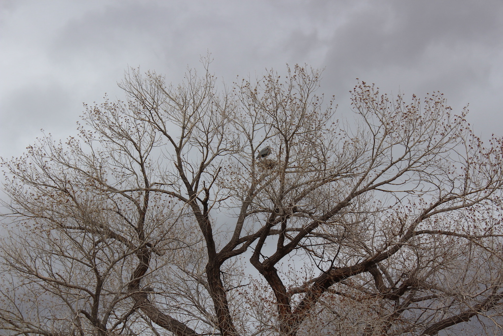 Great view of a Great Blue Heron on a nest along the Colorado River on a float trip with Moab Adventure Center