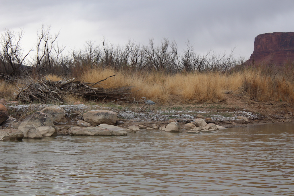 A Great Blue Heron sighting on the Colorado River just before the rain started