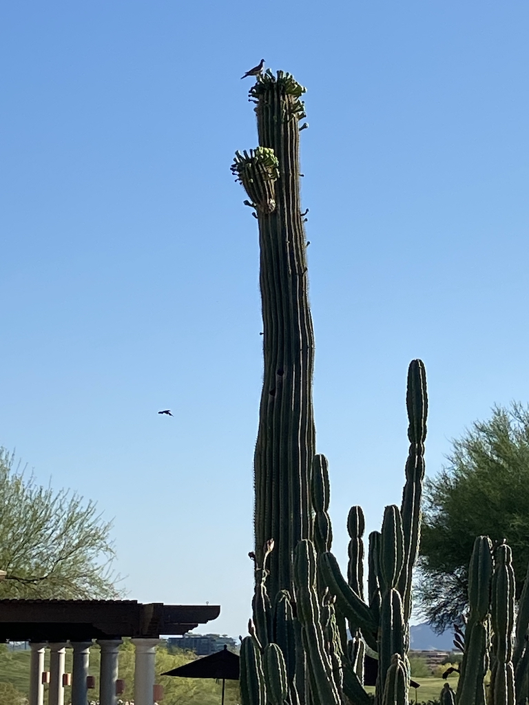 Bird perches on Saguaro Cactus at Fairmont Scottsdale Princess