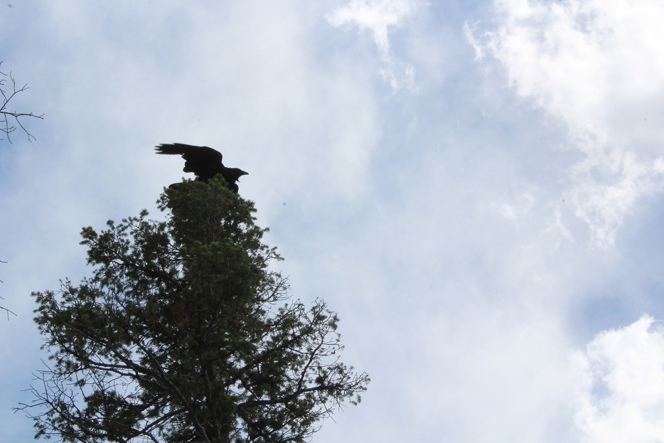 A Raven taking flight along the trail in Rocky Mountain National Park