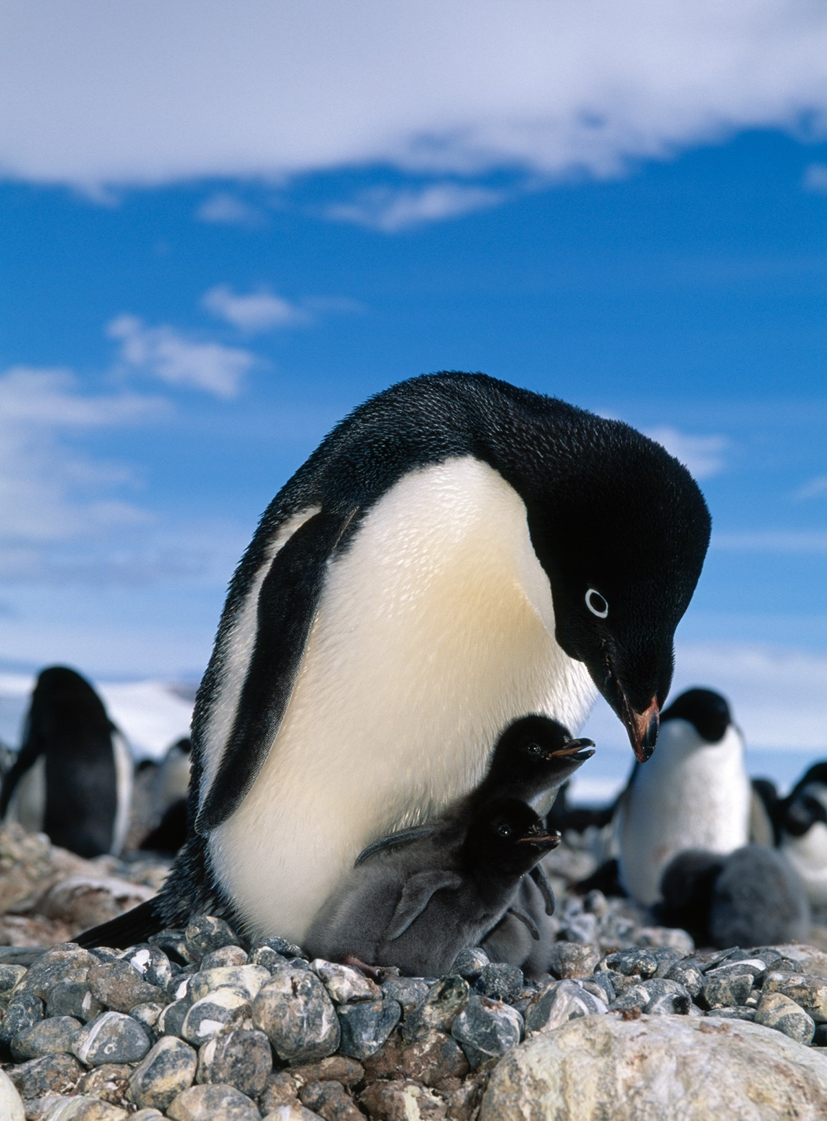 Adélie Penguins breed from October through February and generally lay two eggs