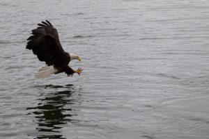 Bald eagle scoops up herring in Auke Bay