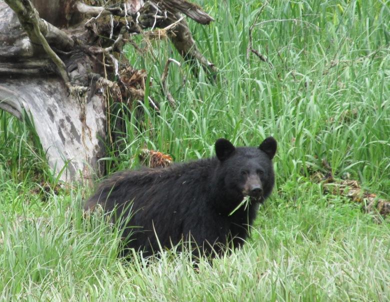 Black bear munching on grass near Salt Chuck