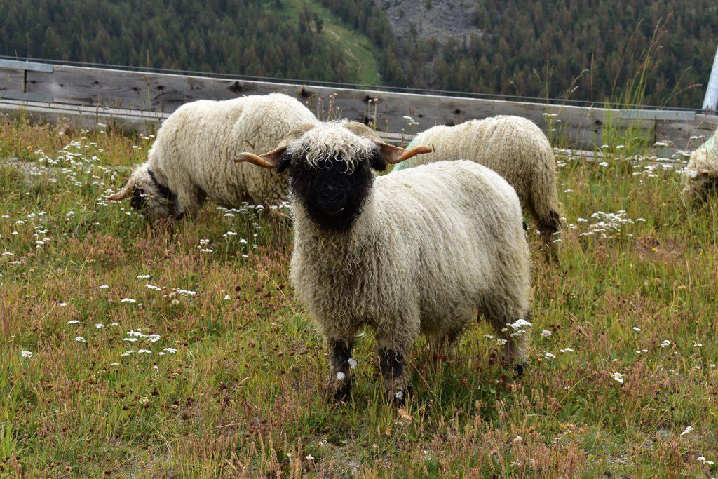 Black-nosed sheep encounter above Zermatt