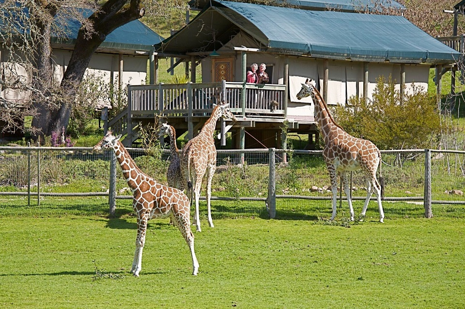 Waking up to coffee and giraffes at Safari West