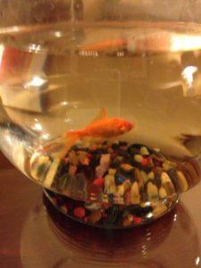 Goldfish in room at Kimpton Monaco Salt Lake City