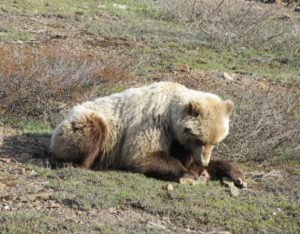 Grizzly Bear lunching on ground squirrel along road in Denali National Park