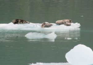 Harbor seals lazing on the ices floes below Dawes Glacier