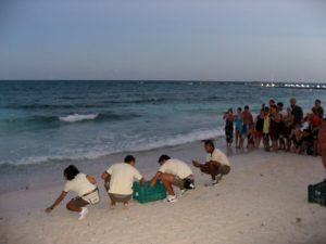 Helping protect the sea turtle hatchlings on the Riviera Maya