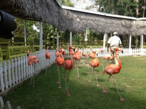 Herding flamingoes at Ardastra Garden, Zoo and Conservation Centre in Nassau