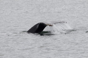 Humpback going on a dive (James H. Long)