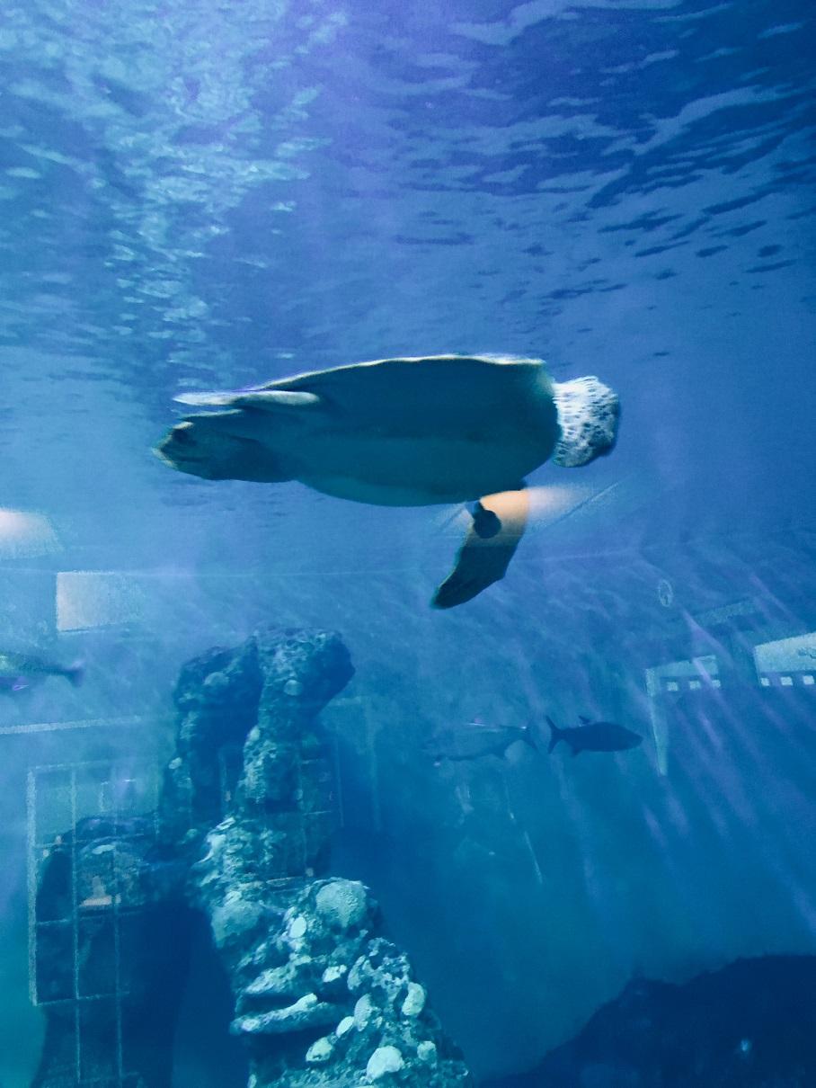 A rescued sea turtle at Clearwater Marine Aquarium