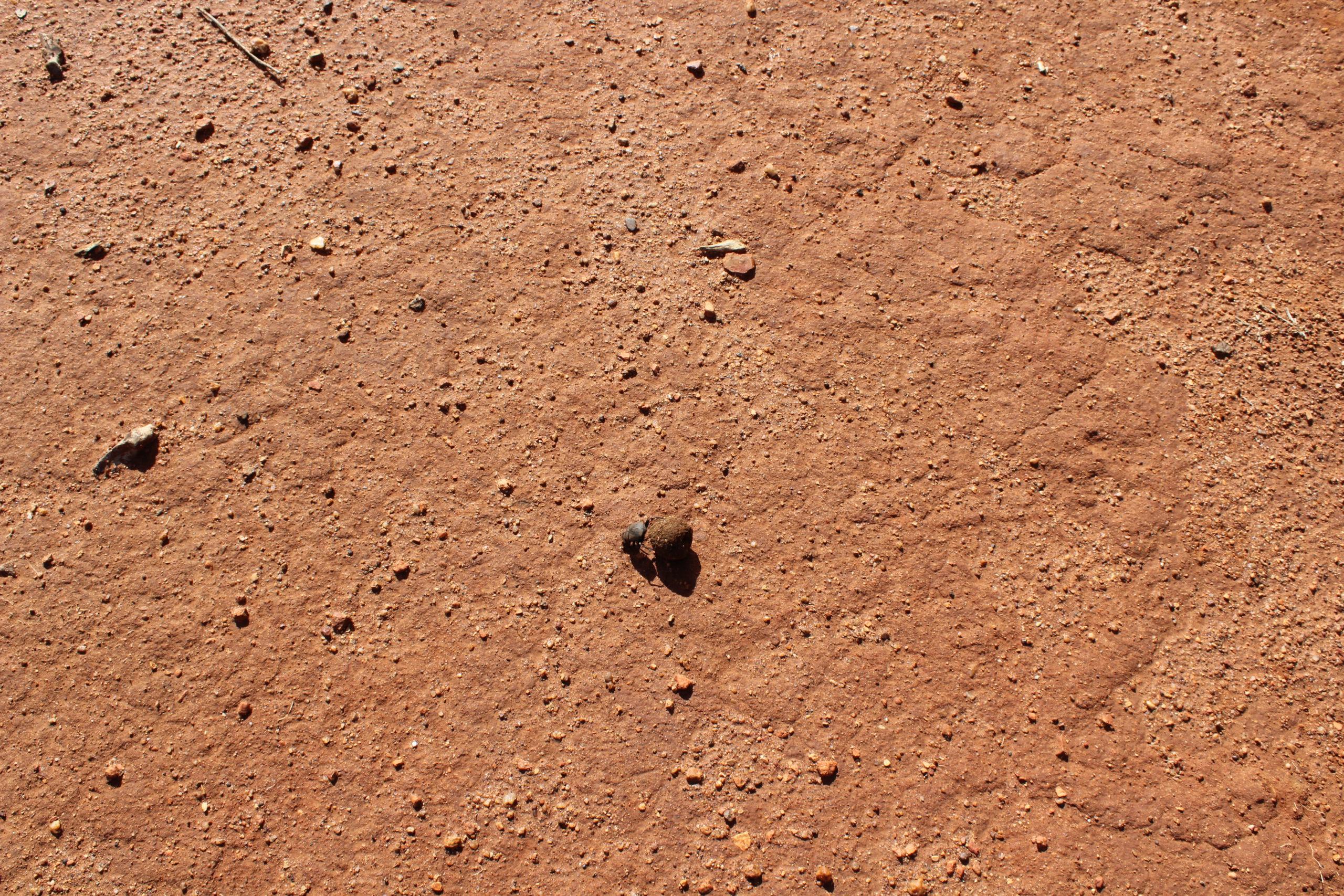 Dung beetle at work in Madikwe Game Reserve