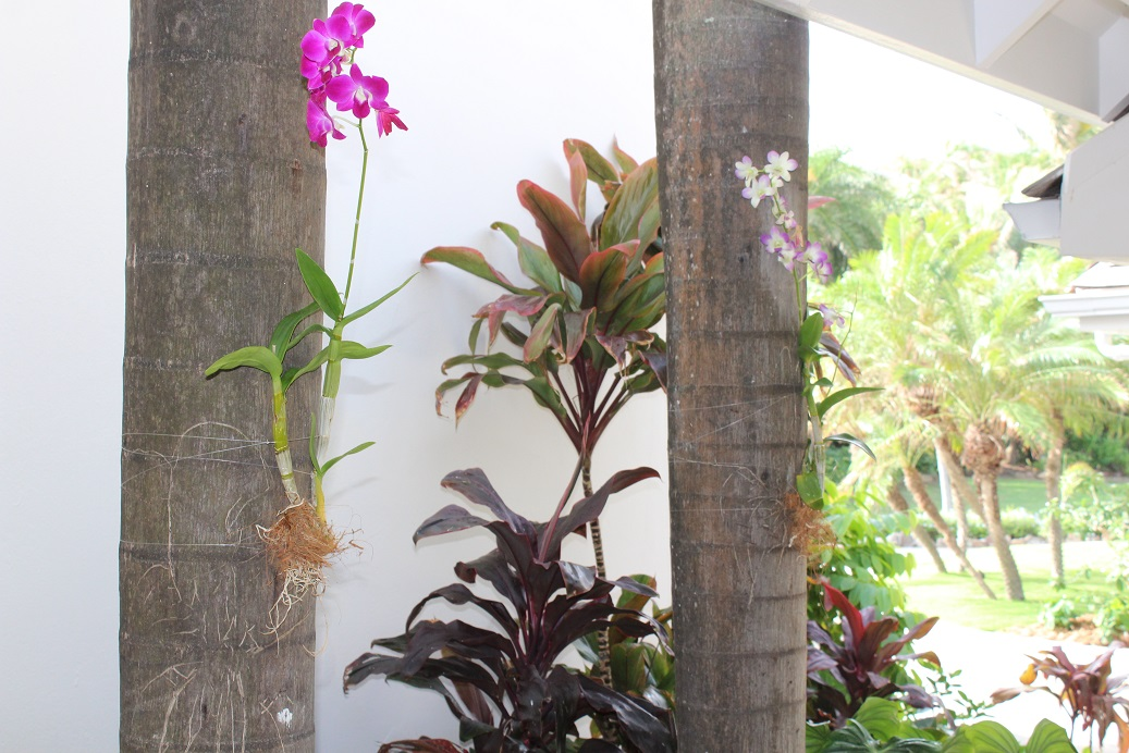 Orchids cultivated on Coconut Trees at Curtain Bluff Resort