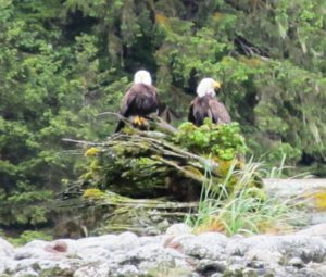 Pair of Bald Eagles perched near the Salt Chuck in Port Houghton area of SE Alaska