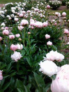 Peony Gardens at Nichols Arboretum