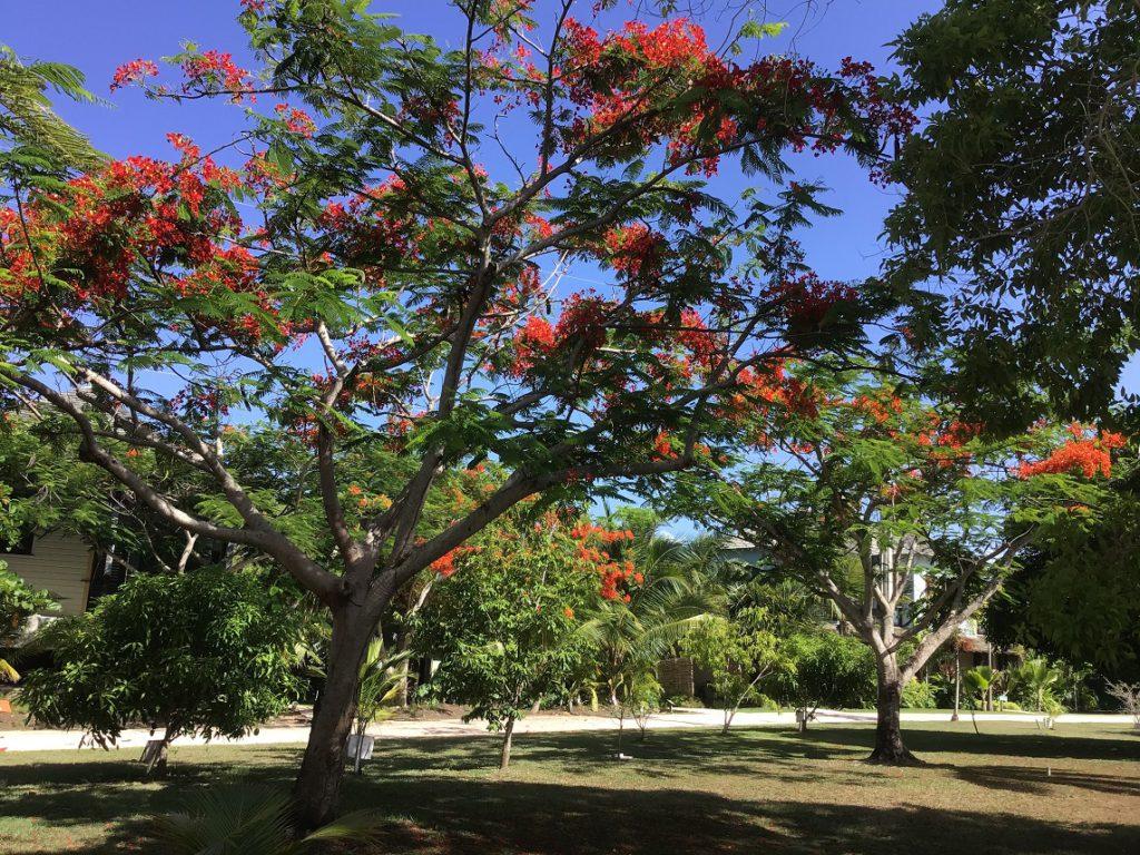 Beautiful flowering trees at GoldenEye Resort