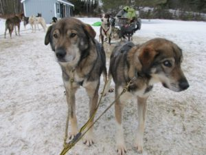 Poncho and Gonzo the sled dog brothers