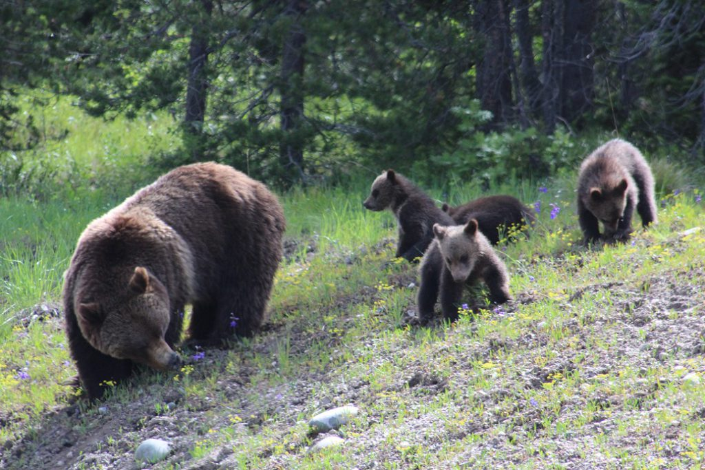 Grizzly 99 and her four cubs sighted by road in Teton NP in 2020