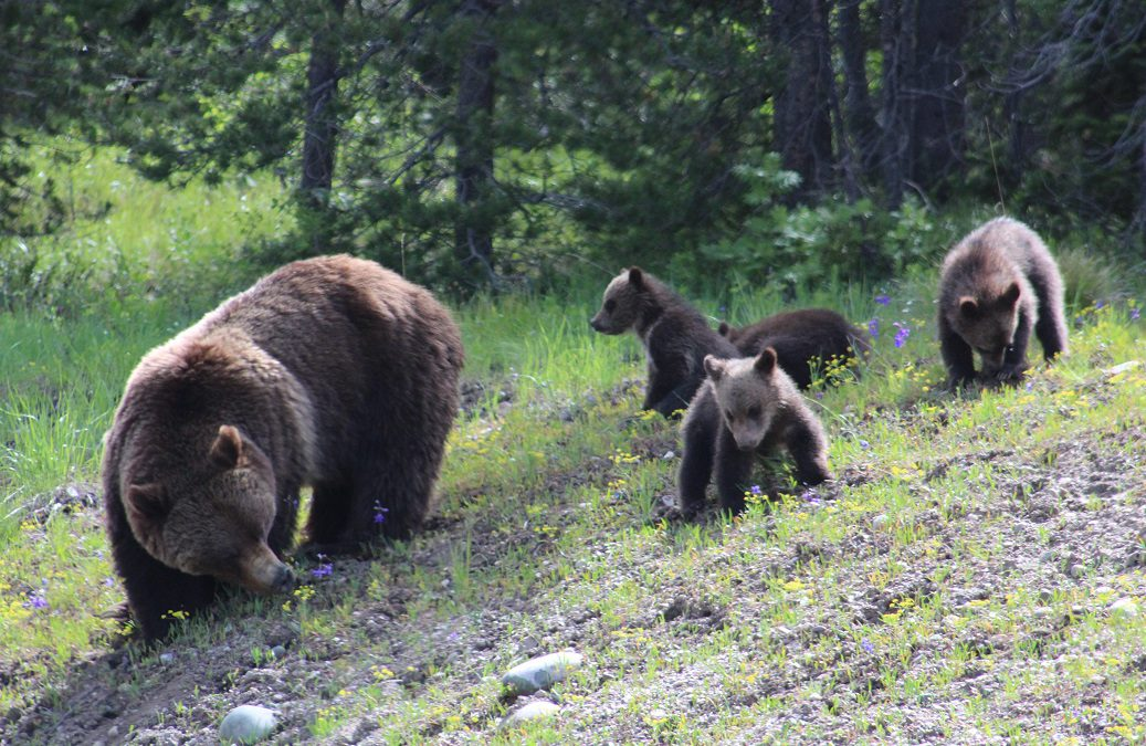 Staying safe in national parks from COVID, bears, bison and more…