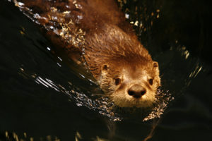 River Otter at The Wild Center in Tupper Lake, NY