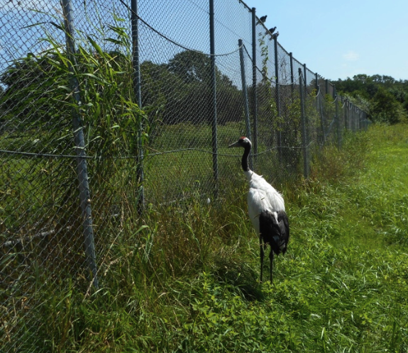 Viewing a red crested crane through a chain link fence