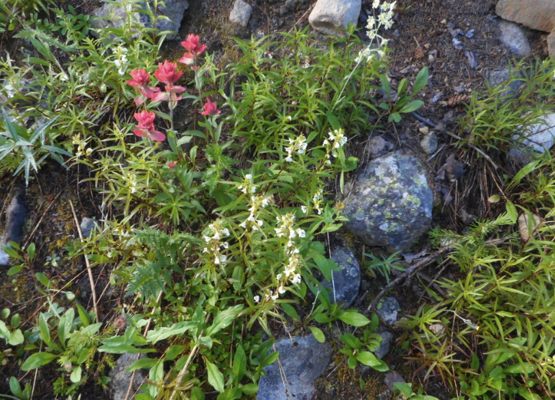 A riot of wildflowers on the East Maroon Trail