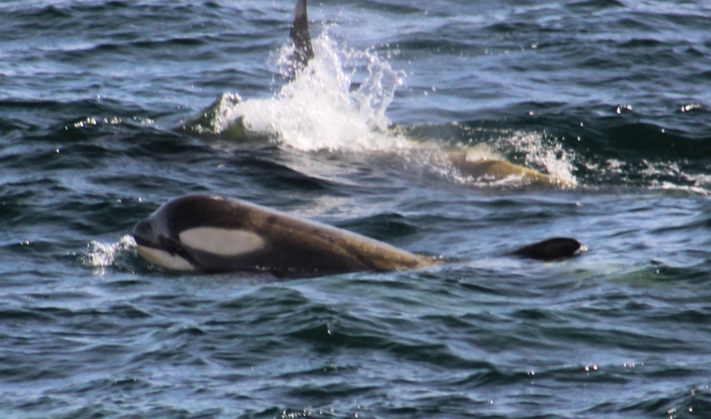 Killer Whales spotted near Le Boreal in Wilhelmina Bay