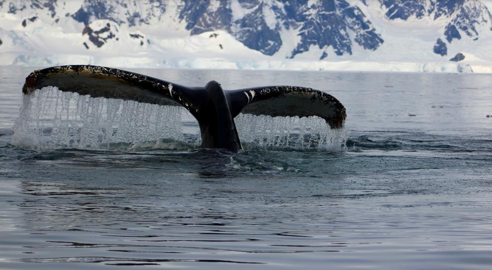 A Humpback whale breaching in Wilhelmina Bay off Antarctic Peninsula