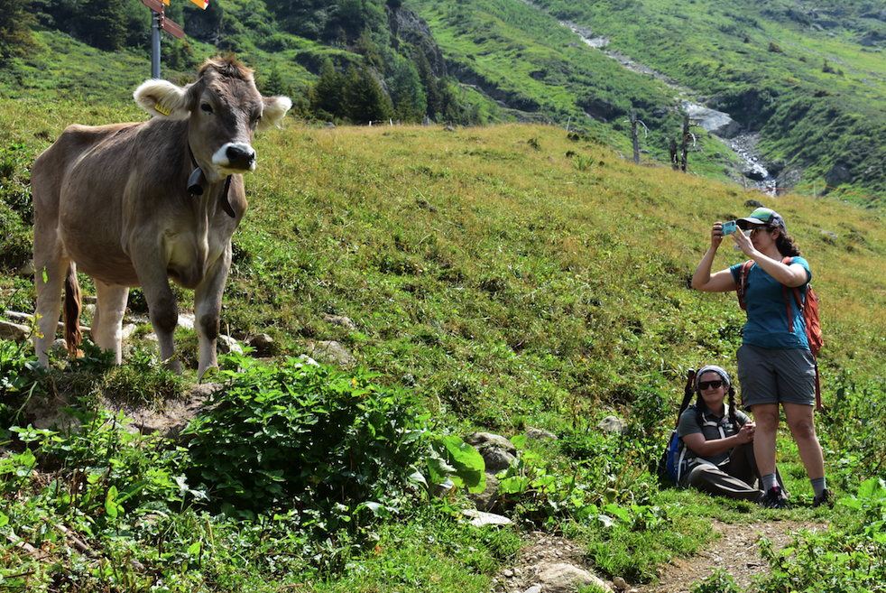 Cow encounter on the Alpine Trail