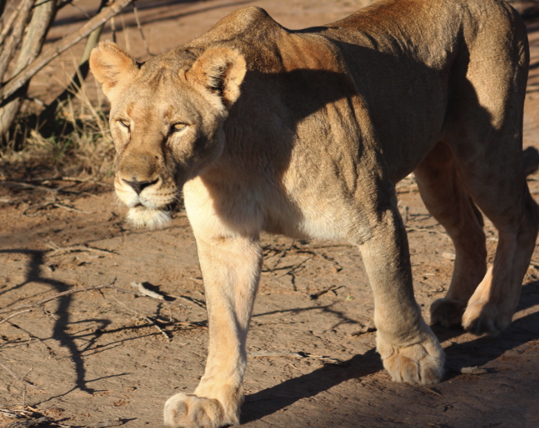 A lioness on her morning walk inMadikwe Game Reserve
