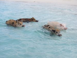 Swimming pigs in Bahamas