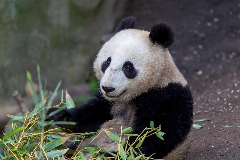 Xiao Liwu at the San Diego Zoo