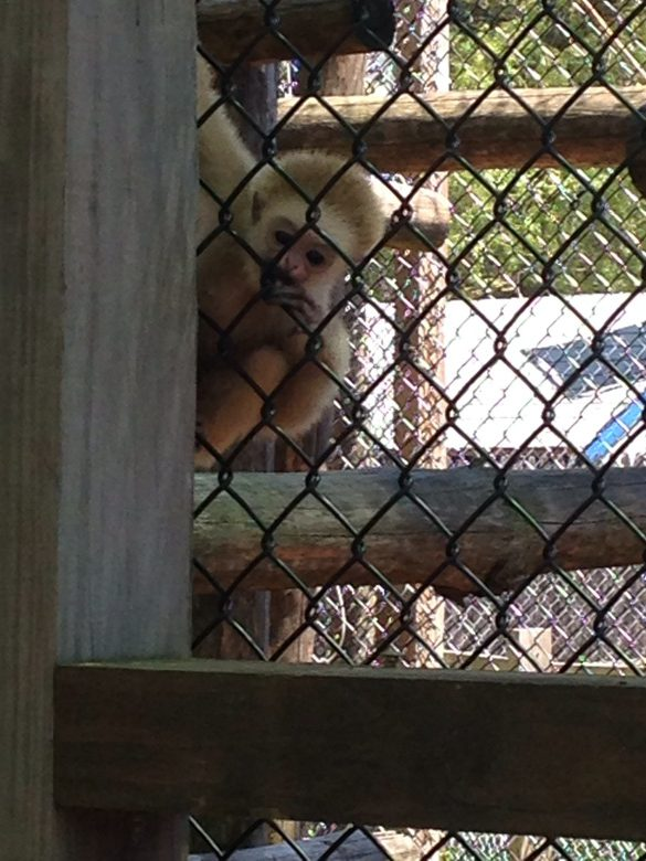 Zoo - gibbon monkey