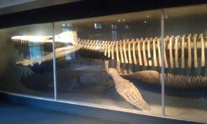 Kronosaurus at Harvard Museum
