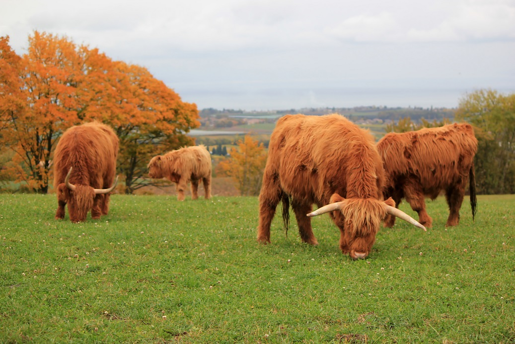 Herd of Highland cows.