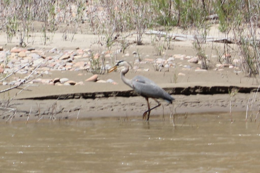 A great blue heron (common on the Yampa) just caught and ate a small fish